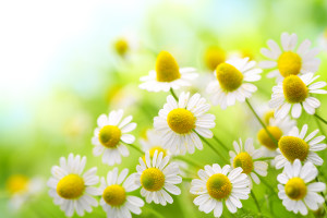 Field of chamomile flowers in the nature